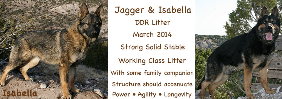 Jagger_Bella_Litter